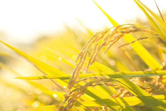 稲刈り(8月下旬)